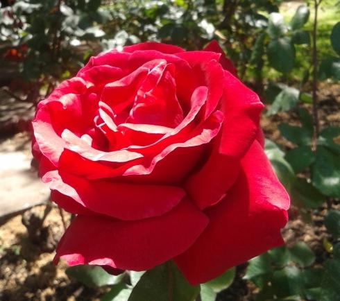 rosa - Cópia recortada